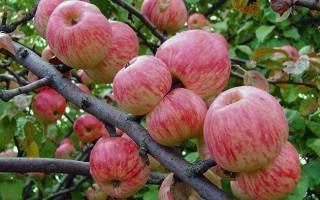 Сортовая яблоня китайка золотая