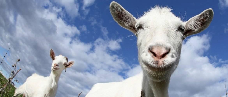 Молочные породы коз (54 фото): самые лучшие дойные породы без запаха, описание чешской и тоггенбургской коз, основные показатели удоев