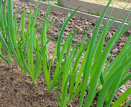 Лук-батун: выращивание из семян, посадка и уход
