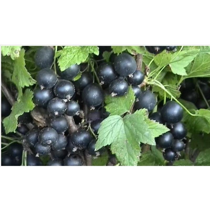 Сорт смородины черной геркулес