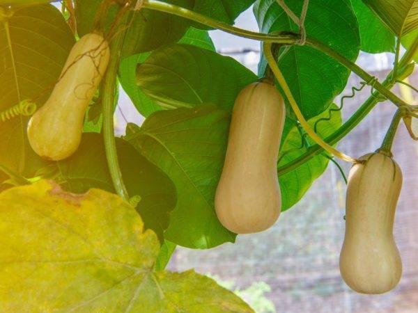 Мускатная тыква – самая сладкая тыква с особым ароматом