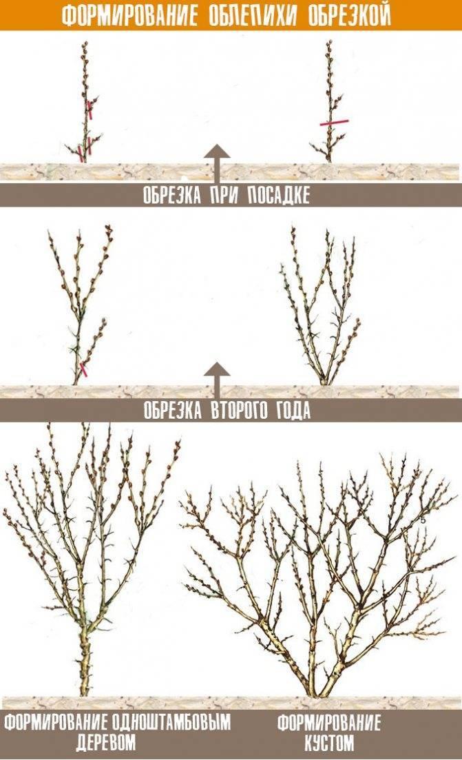 Технология посадки и обрезки облепихи весной. как обрезать облепиху осенью, чтобы был хороший урожай формирование кроны облепихи