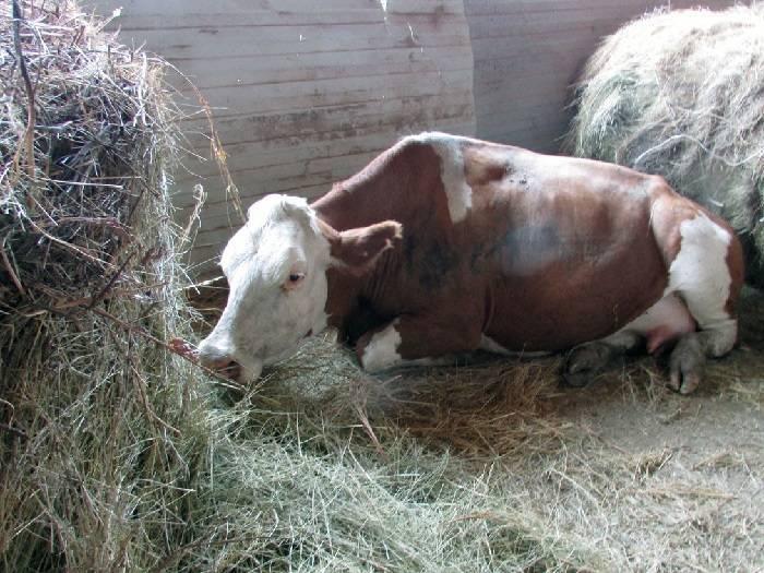 Отравление коровы кормом, яблоками, поваренной солью