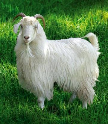 Лучшие породы коз мясного направления: их характеристики и фото