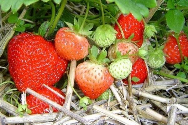 Правила выращивания королевы среди сортов – садовой земляники кимберли