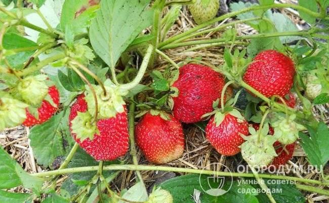 О клубнике машенька: описание и характеристики сорта, посадка, уход, выращивание