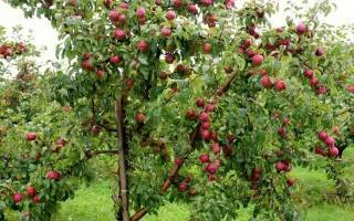 Яблоня коваленковское: описание сорта, выращивание и размножение, отзывы