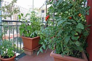 Помидор черри выращивание: когда сеять рассаду и как вырастить из нее томаты? секреты посадки, ухода