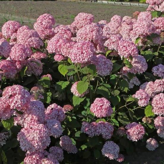 Крупнолистная гортензия букет роуз фото и описание, посадка и уход, размножение и зимовка