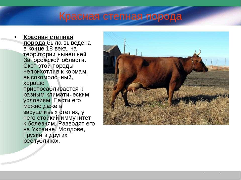 Красная степная порода – выносливые молочные коровы
