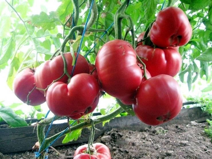 Томат «розовый мед»: описание и характеристика сорта