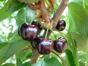 Колоновидная черешня – сорта и описание, особенности выращивания
