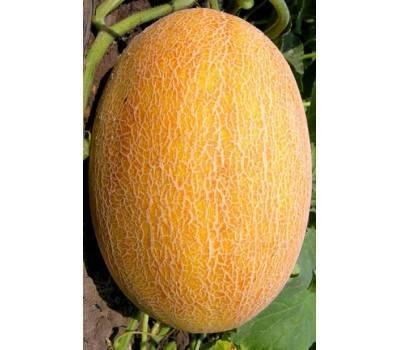 Дыня лада: описание и характеристика сорта, выращивание и отзывы с фото