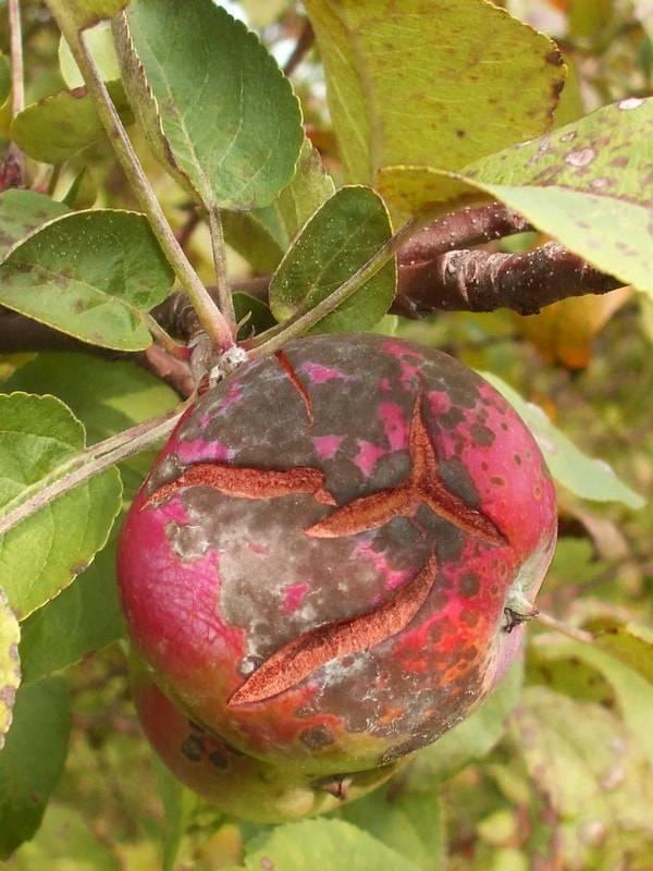 Парша на яблоне: причины появления и меры борьбы