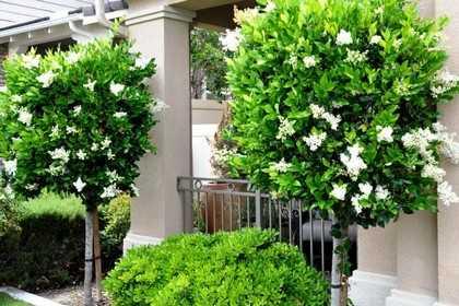 Бирючина овальнолистная декоративные деревья и кустарники ауреум грин диамонд