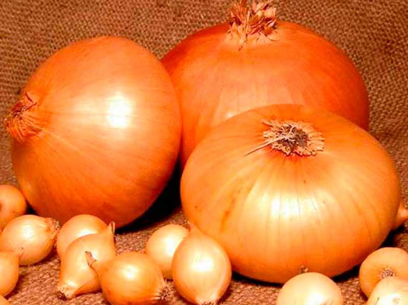 Сорт лука, имеющий многочисленные достоинства – геркулес. подробное описания и правила выращивания
