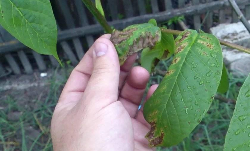 Что делать, если на грецком орехе чернеют листья: пошаговая инструкция по лечению и профилактике заболеваний