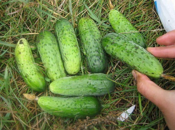 Сорта огурцов длительного плодоношения для открытого грунта