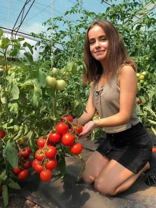 Сорт томата «катя f1»: описание, характеристика, посев на рассаду, подкормка, урожайность, фото, видео и самые распространенные болезни томатов