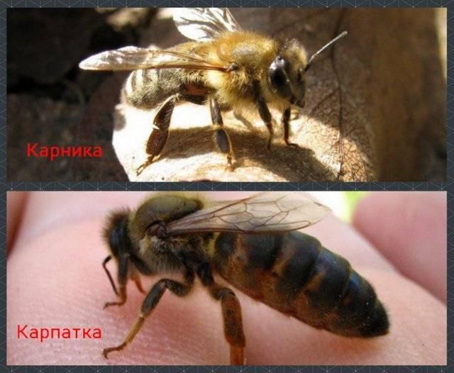 Этапы развития пчелиной матки