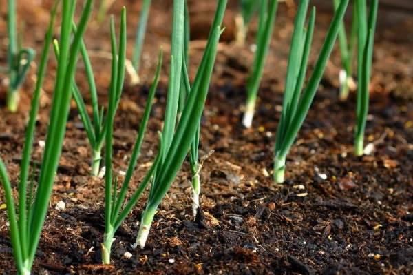 Сорт лука геркулес описание и советы по выращиванию