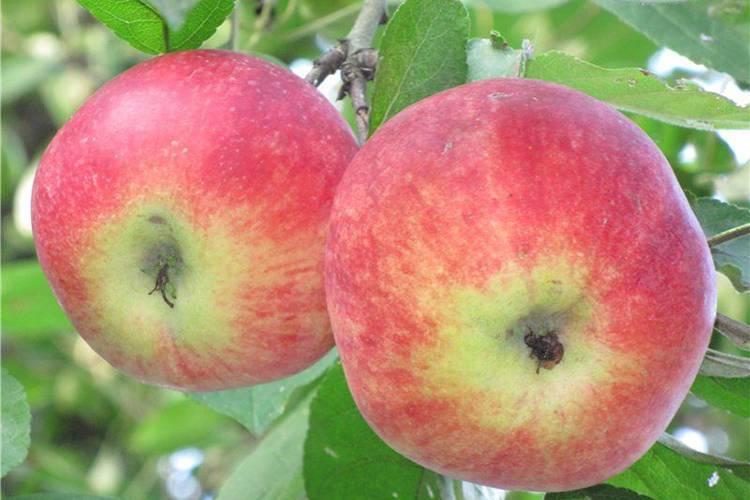 Позднелетняя яблоня орловим: описание, фото