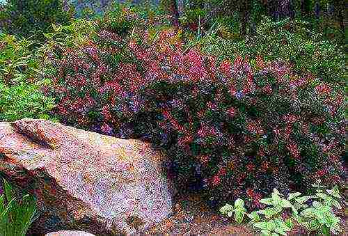 Кустарник барбарис: посадка и уход, фото, размножение и свойства
