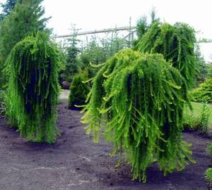 Японская лиственница: описание дерева, посадка и уход
