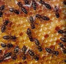 От чего зависит время появления семьи - трутовки на пасеке   практическое пчеловодство