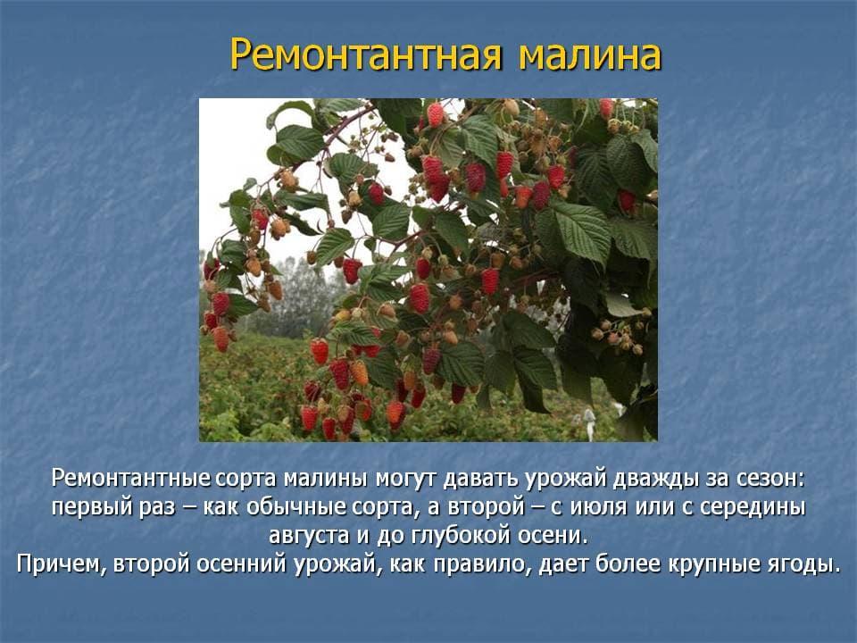 Какой сорт малины выбрать для прохладных регионов