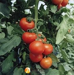 Томат гравитет — описание сорта, урожайность, фото и отзывы садоводов