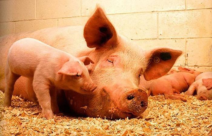 Как узнать, супоросная свинья или нет?