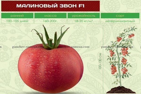 Томат «малиновый звон»: особенности выращивания