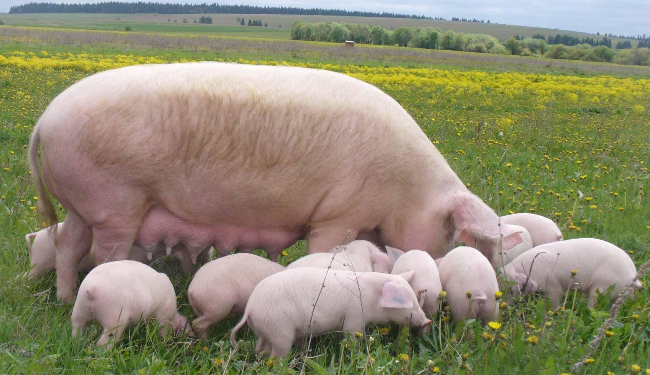 Сколько весит свинья: как правильно измерить вес в домашних условиях