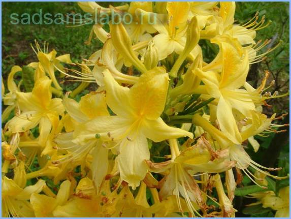 Рододендрон (rhododendron) – уход, фото, виды