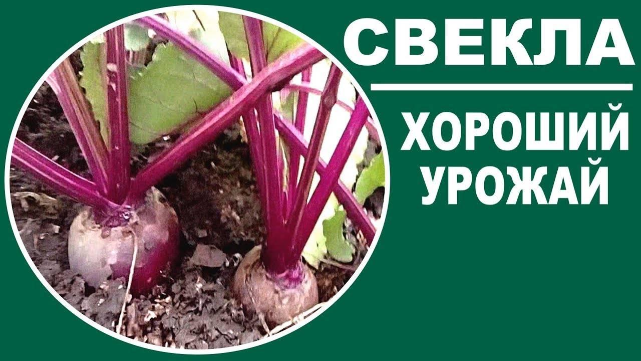 Любит ли морковь золу? как подкормить растение?