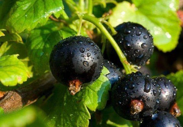 Самые лучшие сорта чёрной смородины