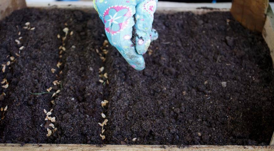 Туя из семян (18 фото): как пошагово вырастить ее из семян в домашних условиях? правила посадки и ухода. как выглядят семена и как их прорастить?