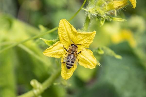 Лучшие пчелоопыляемые огурцы для выращивания в открытом грунте и теплице: топ-18 сортов и гибридов