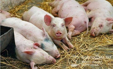 Симптомы и лечение африканской свиной чумы