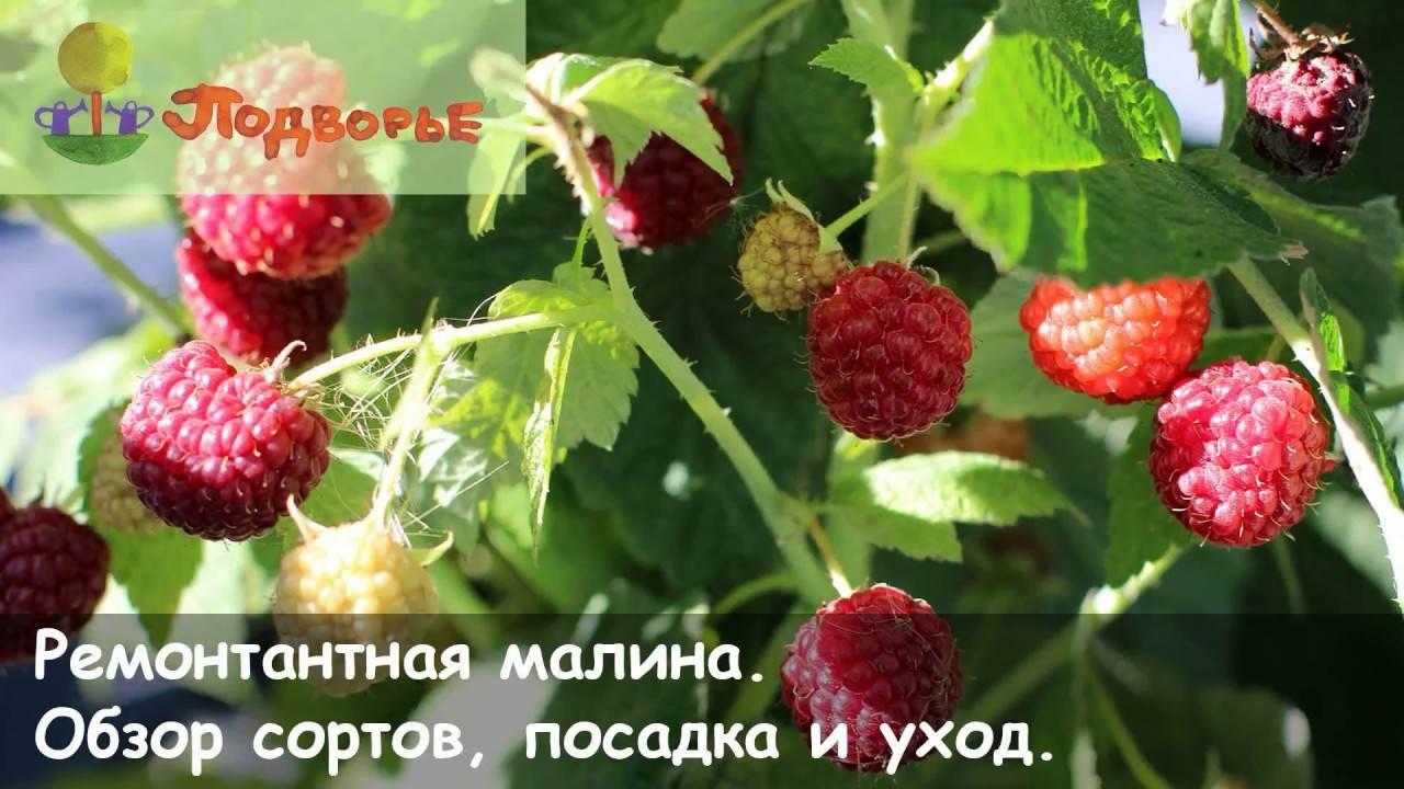 Сорт малины калашник: характеристика, особенности выращивания, сроки созревания