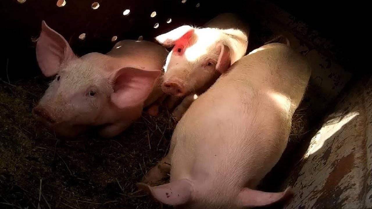 Нормальная температура у свиней: допустимые отклонения от нормы, способы измерения