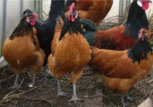 Курицы породы форверк: отличные несушки с ярким оперением
