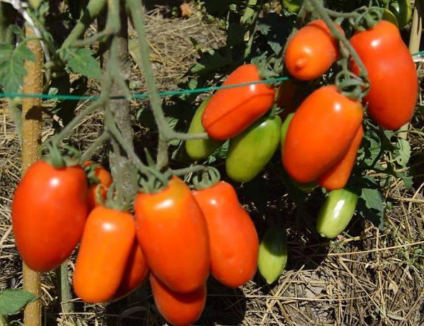 Томат груша чёрная: особенности сорта и выращивание
