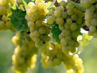 Виноград кишмиш 342: описание сорта, посадка и размножение
