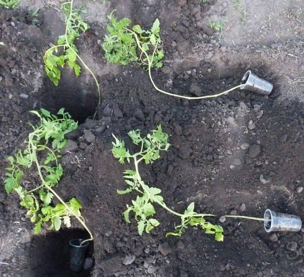 Как и когда высаживать помидоры в открытый грунт рассадой