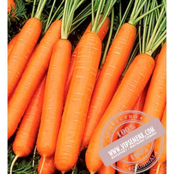 Морковь каротель — описание сорта, фото, отзывы, посадка и уход