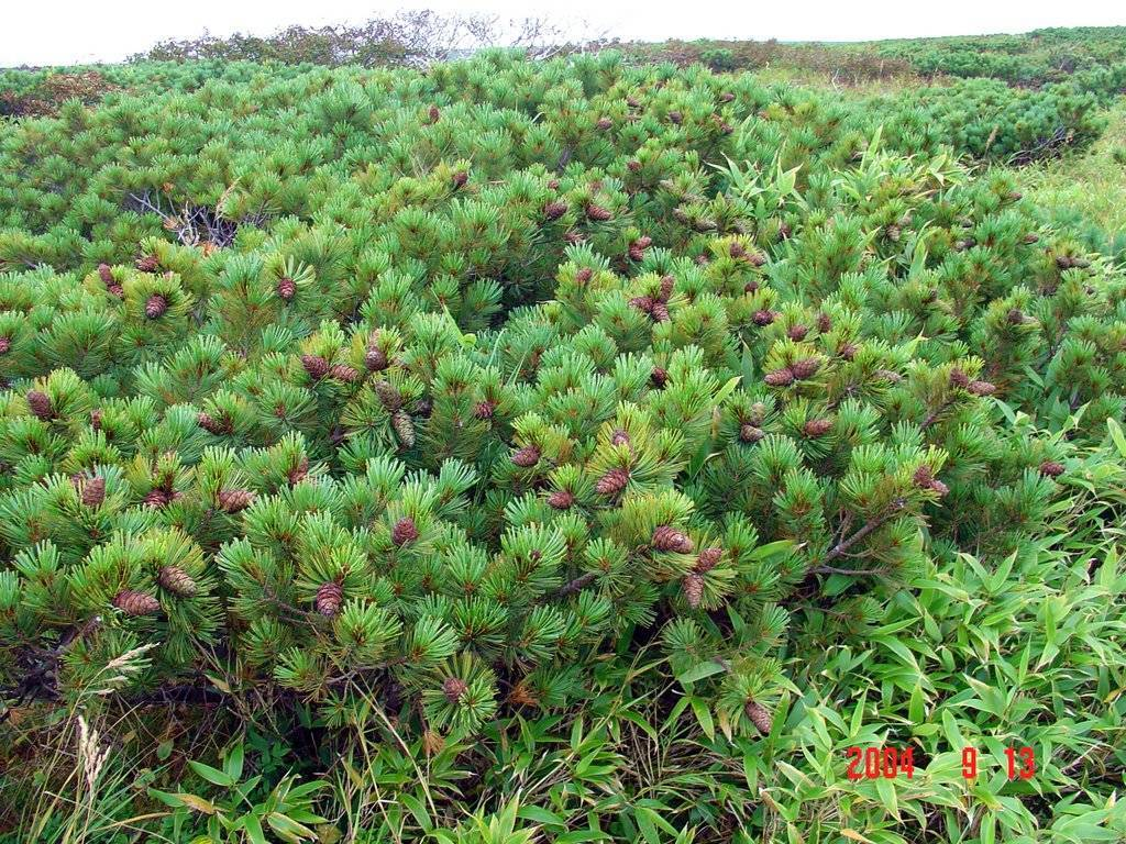 Кедровый стланик: описание, характеристика, выращивание