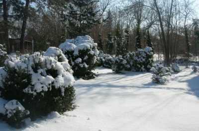 Подготовка самшита к зимовке: укрытие на зиму и правильный уход