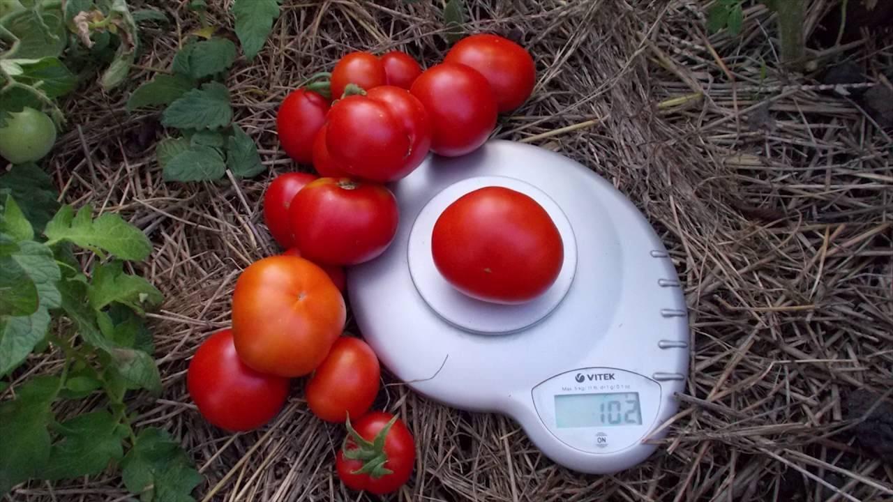 Описание и характеристика сорта помидора сибирский скороспелый